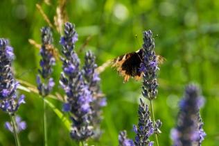 Kopi af Sansesti sommerfugl
